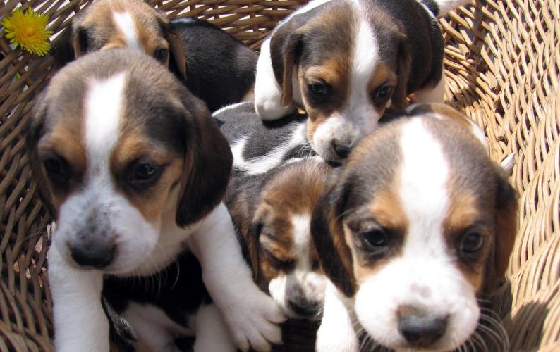 cuccioli-cane-parvovirosi